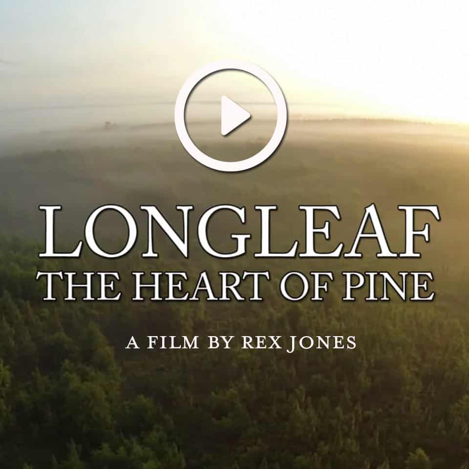 Longleaf: The Heart of Pine View this amazing film that chronicles the history of the magnificent pines that once dominated our landscape